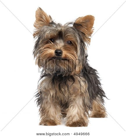 Yorkshire Terrier Puppy (5 Months Old)
