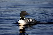 stock photo of loon  - Common Loon on Opinicon lake in Ontario Canada - JPG