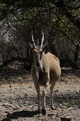 picture of eland  - Curious Eland  - JPG