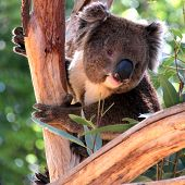 stock photo of koalas  - Smiling Koala in a Eucalyptus Tree Adelaide Australia - JPG