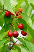 Cherries on plant