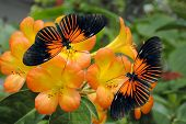 stock photo of dory  - Tropical Rhododendron simbu sunset flowers with 2 Doris Longwing Butterflies - JPG