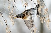 image of brown thrush  - thrush on branch in winter  - JPG