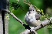 stock photo of fluffing  - A Young Tufted Titmouse All Fluffed Up - JPG