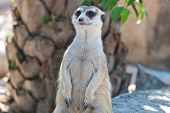 image of meerkats  - Meerkat with action can be use for various animal related conceptual design and print outs - JPG