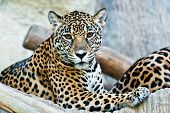 pic of leopard  - Wild Leopard taken on a sunny day can be use for various wild animal concepts - JPG