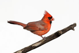 stock photo of cardinal-bird  - Male Northern Cardinal  - JPG