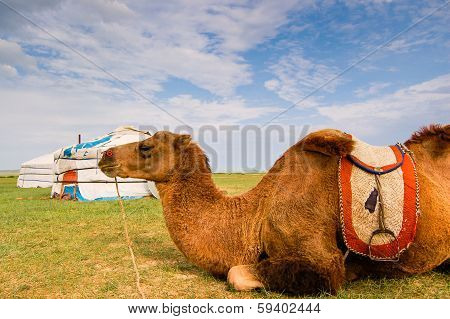 Camel Lying In Front Of Yurt