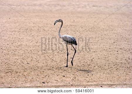 Juvenile Greater Flamingo