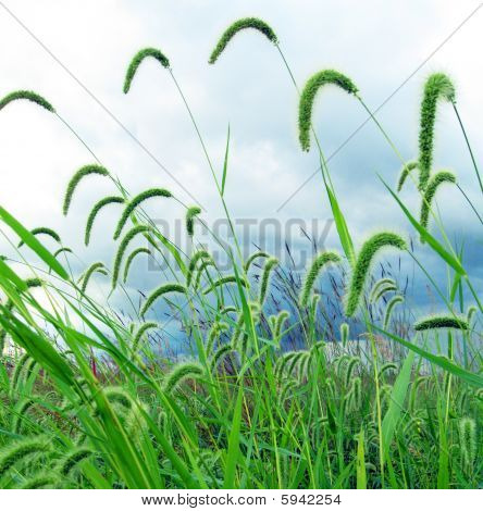 Green Foxtail On A Blue Sky