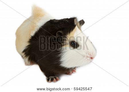 Guinea Pig Pet