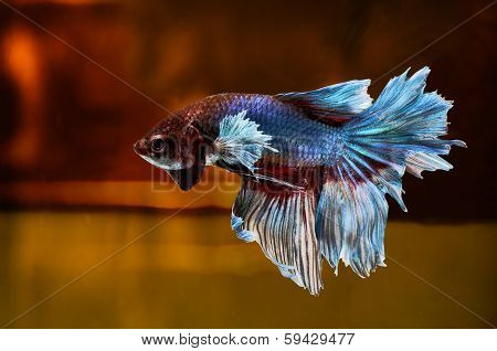 Siamese Fighting Fish isolated on location .Clipping path included.