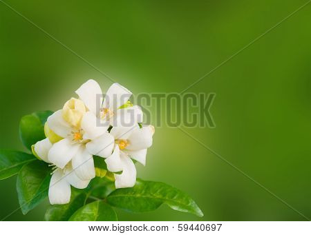 White Flower Murraya Paniculata