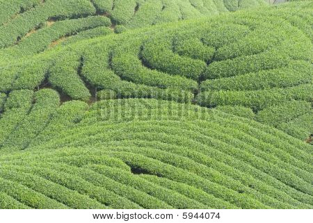 Complex Landform And Tea Trees