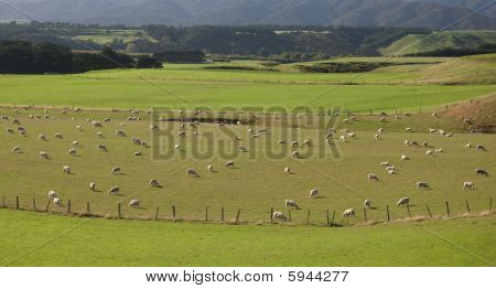 Sheep Grazing In Lush Field, New Zealand