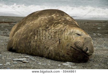 Sleeping Bull Elephant Seal
