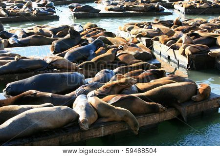 Genuine Wild California sea lions AKA Zalophus californianus Lounge in the sun on docks in the harbor of Pier 39 in San Francisco California. The San Francisco Sea Lions are a Tourist Attraction
