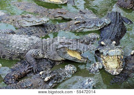 Close Up Crocodile Masses