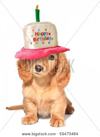 Miniature dachshund puppy wearing a Happy Birthday hat.
