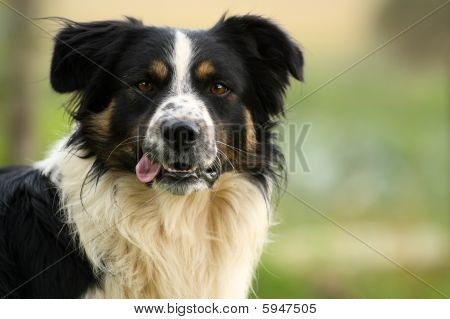 Sheepdog stare
