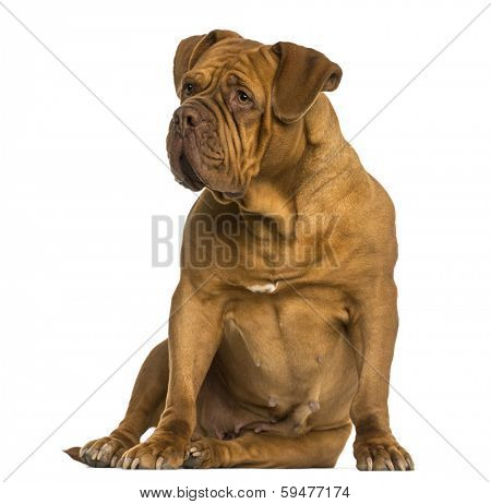 Dogue de Bordeaux sitting, looking away, isolated on white