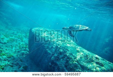 Green Sea Turtle (Chelonia mydas). Similan islands