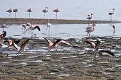 image of greater  - Greater Flamingos - JPG