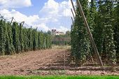 stock photo of bine  - landscape with hop garden in the summer - JPG