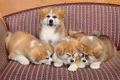 picture of akita-inu  - Young pets four Akita Inu puppy dogs at couch group of animals - JPG