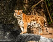 picture of tigress  - Portrait of a Royal Bengal tiger in cave - JPG