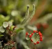 pic of lichenes  - Cladonia rangiferina also known as Reindeer lichen.Cladonia rangiferina also known as Reindeer lichen 