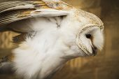 stock photo of owl eyes  - Owl portrait - JPG