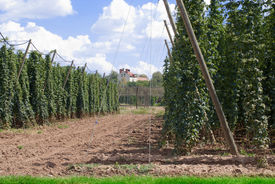 picture of bine  - landscape with hop garden in the summer - JPG