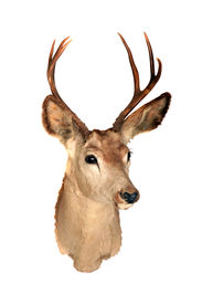 stock photo of blacktail  - A genuine Stuffed AKA Taxidermy Dear Head with beautiful antlers isolated on white with room for your text - JPG
