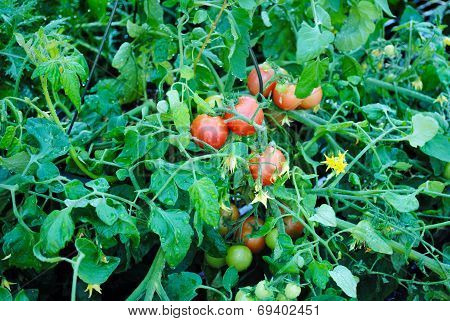 Large Tomato Plant In A Summer Garden