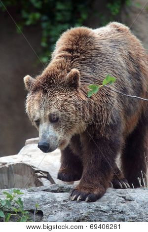 Bbrown Bear On A Rock