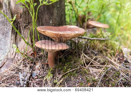 Lactarius Rufus Mushrooms