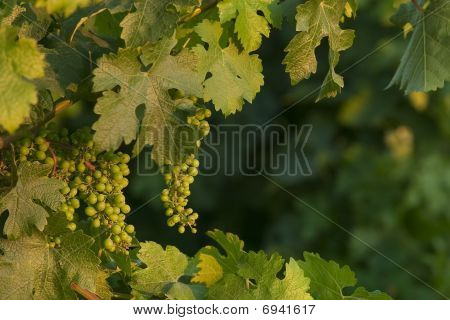 Grapes at sunset