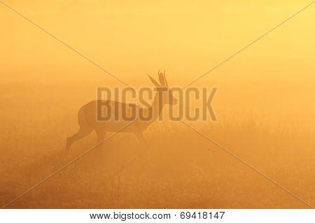Springbok - African Wildlife Background - Running Gold
