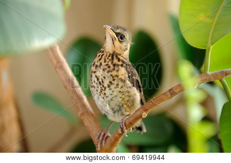 Cute Young Fieldfare On Tree