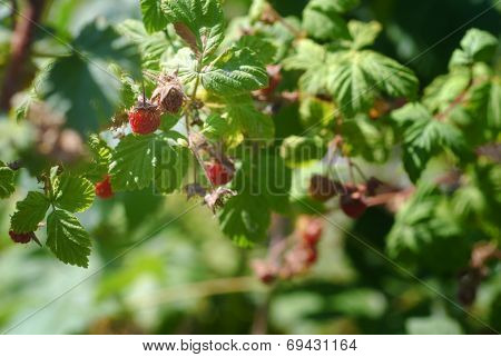 Wild Montana Raspberries