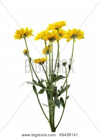Yellow Chrysanthemum Flower With Leaf