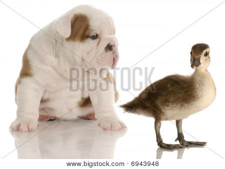 Bulldog Puppy And Duck