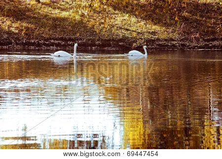 two white swan in autumn purged