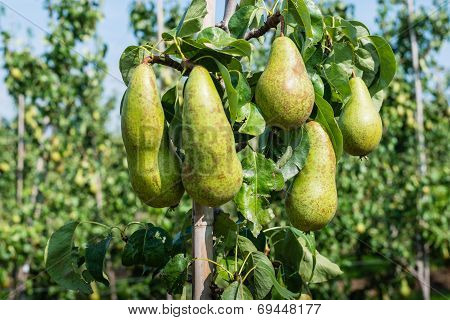 Ripening Conference Pears On The Tree