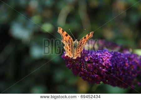 Comma Butterfly Or Polygonia C Album