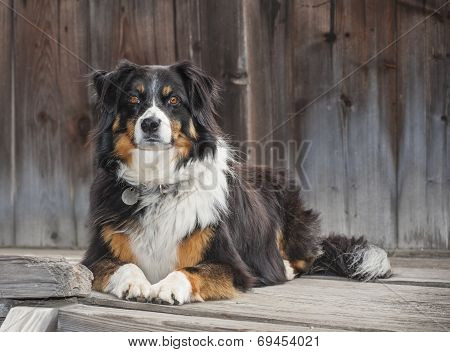 A Border Collie lying on a wooden step, Waiting For Her Owner To Return