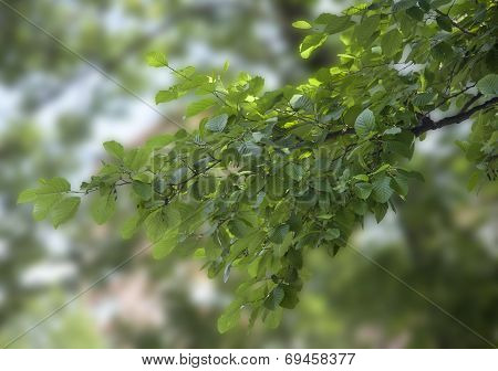 Branch Of Elm