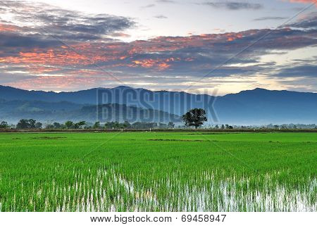 Sunrise over paddy field
