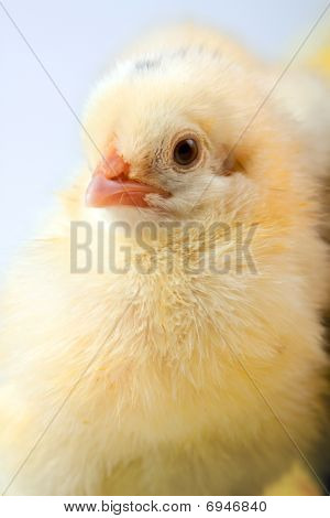 Easter Chick Concept